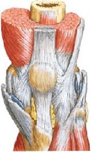 Надколенник и связочный аппарат коленного сустава