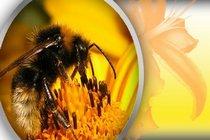 Пчелиная пыльца в жизни индивидуума