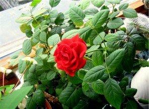 Комнатная роза легкостью избавит вас от стрессов и депрессии