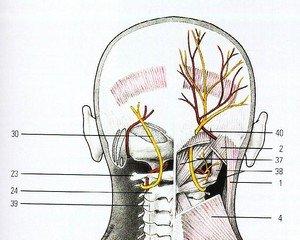 Ход ветвей затылочного нерва