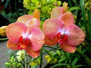 Комнатная орхидея одним только своим видом улучшает настроение