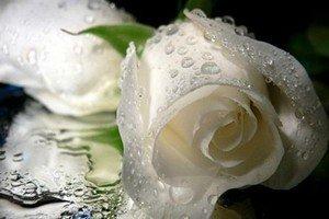 Символизм белых роз