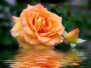 Символизм чайных роз