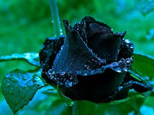 Символизм черных роз