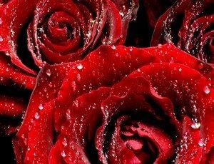 Символизм красных роз