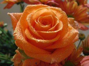 Символизм персиковых роз