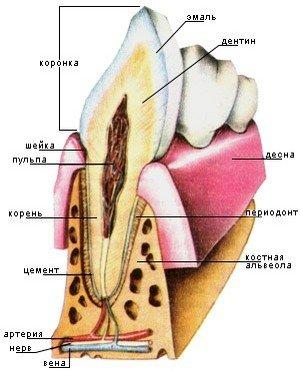 Основные части зуба