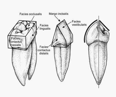 Поверхности коронки зуба