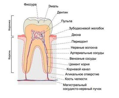 Нормальное строение зуба