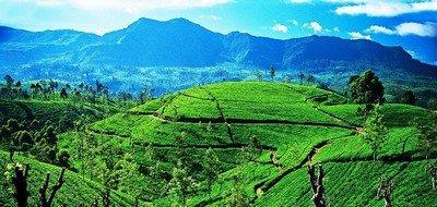 Чай с высокогорий самый элитный и дорогой - это правда