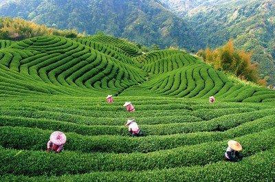 Мифы и интересные факты о чае