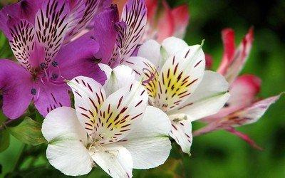 Перуанские лилии - еще одно название альстромерий