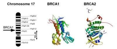 Гены BRCA2 и BRCA1, мутация которых приводит к раку яичников