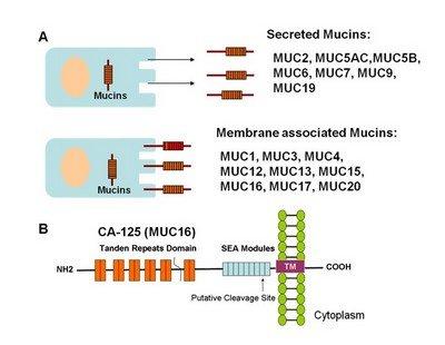 Онкомаркер CA-125, повышенный титр которого может свидетельствовать о раке яичников