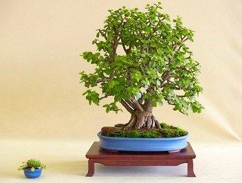 Бонсай из толстянки древовидной (денежного дерева)