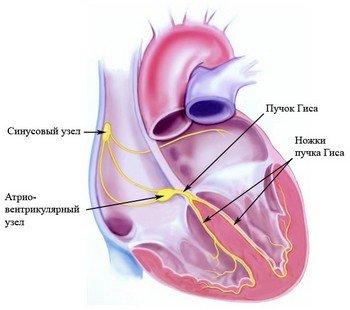 Проводящая система сердца: узлы и пучек Гиса