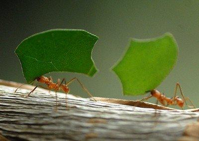 Сила муравья-листореза