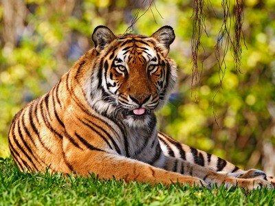 Сила тигра