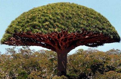Драконово дерево на острове Сокотра