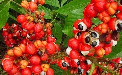 Плоды амазонской гуарану