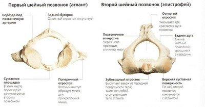 Строение двух верхних шейных позвонков: атланта и эпистрофея