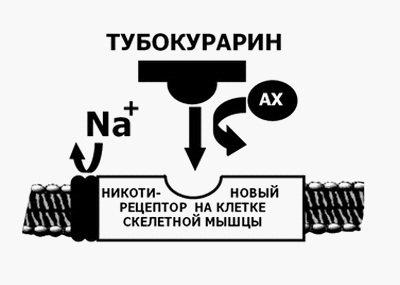 Механизм действия недеполяризующего миорелаксанта тубокурарина