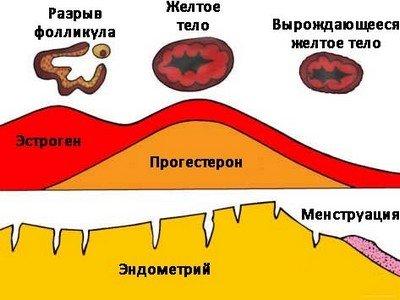 Прогестерон и его биологические свойства