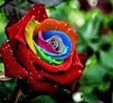 Что символизирует цвет роз